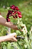 Flower Gardening And Maintenance Concept. Close Up Shot Of Women Hands With Pruning Shears Working I poster