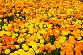 Marigold Blossom On Natural Background. Marigold Flowers In Summer Garden. Blossoming Flowers With Y poster