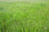 Green Grass Photo Background Or Texture. Close-up Image Of Fresh Long Spring Green Grass. Beautiful  poster