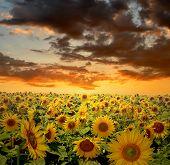 setting sun over the sunflower field