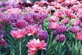 Tulips Flower Bed With Bright Blooming Soft Pink And Purple Tulip Flowers At Park Glade On Sunrise.  poster