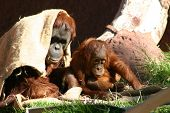 Mom And Baby Orangutans