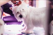 Female Groomer Haircut West Highland White Terrier Dog On The Table For Grooming In The Beauty Salon poster