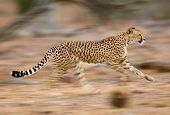picture of cheetah  - A motion blur photograph of a young cheetah running - JPG