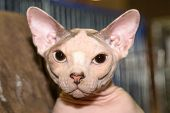A Nude Skin Bald Cat, Breed Canadian Hairless Kitty Or Pink Sphynx Portrait Close Up. Fashion Nude C poster