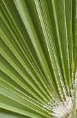 picture of washingtonia  - Closeup of green leaf of fan palm - JPG