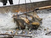 The common carp in fish net. Harvest of a pond -  It is Czech's traditional fishing technology with a very long history dating back to 1550.
