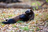 Wolverine (gulo Gulo) Resting On Its Back In The Autumn Forest.a Large Nordic Predator Relaxes On A  poster