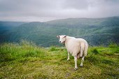 Sheeps On Mountain Farm On Cloudy Day. Norwegian Landscape With Sheep Grazing In Valley. Sheep On Mo poster