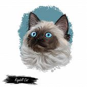 Ragdoll With Thick, Rabbitlike Fur Digital Art Illustration. Ragamuffin Breed Of Domestic Cat Isolat poster