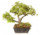 Ulmus campestris bonsai isolated on white