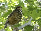 Young Or Baby Robin In Tree