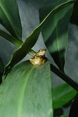 Two tree frog