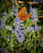 Butterfly on lavanda