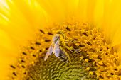 Honey Bee Covered With Yellow Pollen Collecting Sunflower Nectar. Animal Sitting At Sunny Summer Sun poster