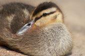Cozy Duckling