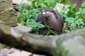 The Asian Small-clawed Otter (amblonyx Cinerea), Also Known As The Oriental Small-clawed Otter Or Si poster