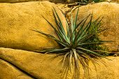 Closeup Of A Agave Plant Growing On Some Rocks, Popular Tropical Plant Specie From America poster