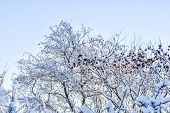 Tree Branches Covered With Snow On Blue Sky Background poster
