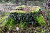 Mossy Tree Trunk. Overgrown Trunk Of A Deciduous Tree. Autumn Season. poster