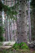 Big Trunk Of Spruce Tree In A Coniferous Forest. Dry Branches On The Trunk Of A Coniferous Tree. Aut poster