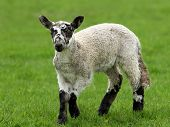 picture of the lost sheep  - a brown speckeld lamb in a field in the spring - JPG