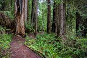Trail Around Downed Redwood Tree In Pacific Northwest poster