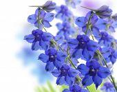 Blue Delphinium Flowers ,Close Up