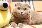 Domestic Cat, Scottish Fold Cat, Scottish Fold, Cat Sleep poster
