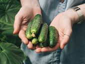 Fresh Cucumbers In Female Hands. Unrecognizable Young Hipster Woman In Denim Shirt Holding Organic C poster