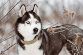 Portrait Of Siberian Husky Black And White Colour With Blue Eyes Outdoors In Winter. A Pedigreed Pur poster