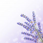 Fresh lavender flowers border, little posy of aromatic medicinal herb, fresh plant of purple flower,