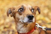 Portrait Of Cute Little Scared Dog Walking Next To Volunteer In Autumn Park. Adoption From Shelter C poster