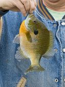 foto of crappie  - A large Sunfish caught in the spring time - JPG