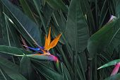 Exotic Tropical Flower Named Bird Of Paradise. poster