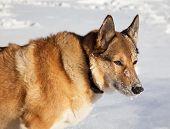 stock photo of laika  - Portrait of adult dog on white snow - JPG