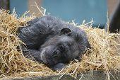 Sleeping Chimpanze