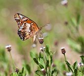 Bunte Perlmutterfalter Schmetterling (Euptoieta Claudia)