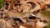 Six-lined Racerunner whiptail eating a grasshopper in underbrush