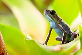 foto of poison frog frog  - strawberry poison dart frog tropical amphibian from jungle of Panama - JPG