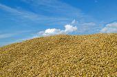 Pile Ecological Wheat Grain Corn Harvest Sky
