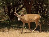 picture of black tail deer  - Californian Black - JPG