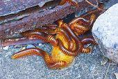 pic of millipede  - Close up the group of giant millipede - JPG