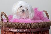 Female Maltese in a Laundry Basket