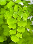Branches  Of Maidenhair