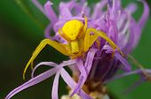 Yellow Spider On A Purple Flower.