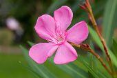 Pinks Nerium Oleander flowers