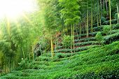 Tea plantation with bamboo forest