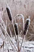 Hoar Frost Or Soft Rime On Plants At A Winter Day poster