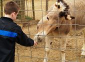Boy At Petting Zoo With Zonkey